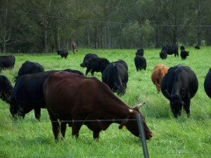 WHY EATING GRASS FED MEAT WILL SAVE THE PLANET
